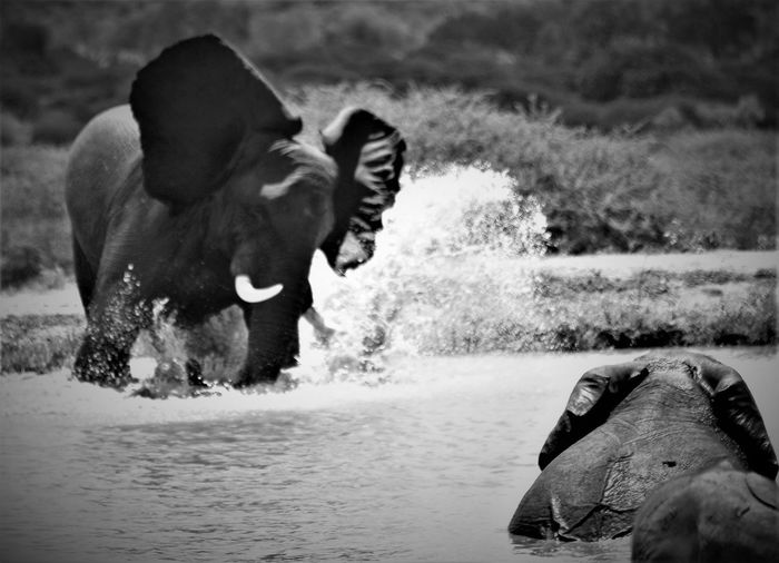 Animal Themes Day Domestic Animals Elephant Elephant Play Elephants First Eyeem Photo Mammal Motion Nature No People One Animal Outdoors Plant River Splashing Water Waterfront
