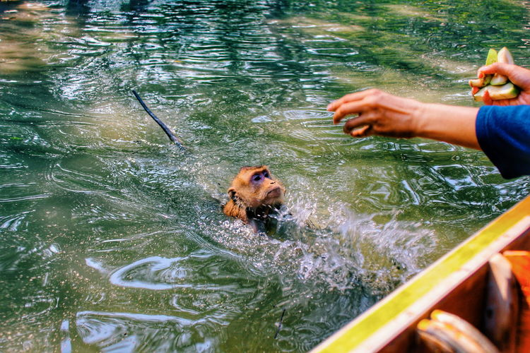 Monkey swimming in water