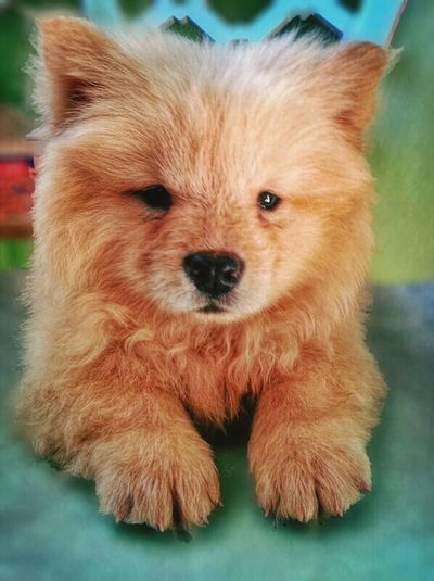 Our new baby. :) ChowChow EyeEm Animal Lover Dog Lover Having Fun
