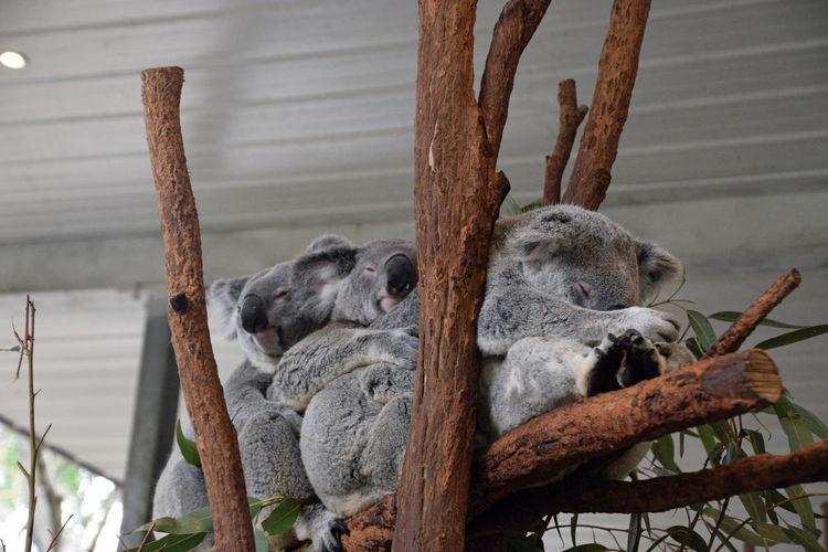 Four koalas