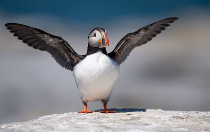 Atlantic puffin Puffin Atlantic Maine Bird Animal Wildlife Vertebrate Animals In The Wild Flying Spread Wings One Animal Close-up Nature Day Animal Body Part Full Length Focus On Foreground No People Front View Animal Wing Outdoors Flapping