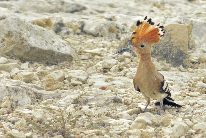 Abubilla Animal Themes Ave Aves Beauty In Nature Close-up Focus On Foreground Hoopoe Hoopoe Bird Naturaleza Nature No People Outdoors Puput Selective Focus Wildlife