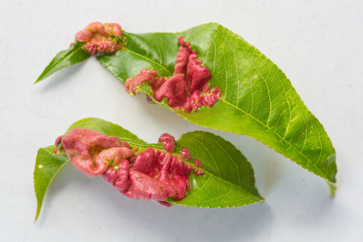 Peach leaf curl caused by fungi Taphrina deformans Curl Garden Problems Taphrina Deformans Close-up Directly Above Disease Diseased Leaf Fungal Fungal Disease Fungi Gardeners Enemy Green Color High Angle View Leaf Leaf Curl Leaves Nature No People Pathogen Peach Leaf Curl Plant Plant Disease Plant Part Plant Pathogen Red And Green