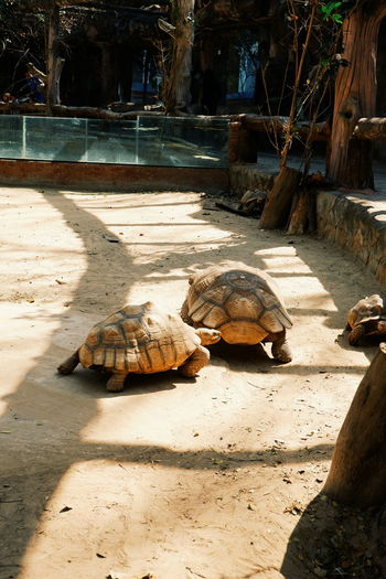 Turtle Reptile Animal Wildlife Animal Themes Shell Animal Animals In The Wild Animal Shell Tortoise Sunlight Day Vertebrate Nature Group Of Animals No People Land Outdoors Shadow Field Marine