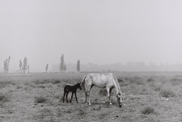 Black And White Field Film Film Forever. Foggy Horse Horses Mist Nature No People Non-urban Scene Pony Tranquil Scene Tranquility Mother And Child White Horse