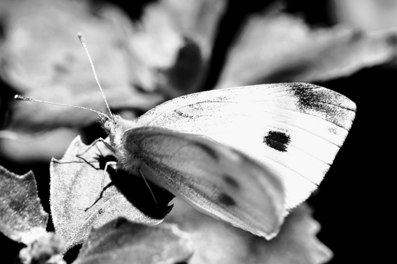insect, invertebrate, animal wildlife, animal, animals in the wild, animal themes, close-up, one animal, animal wing, no people, beauty in nature, selective focus, butterfly - insect, nature, day, focus on foreground, animal antenna, butterfly, outdoors, leaf, moth