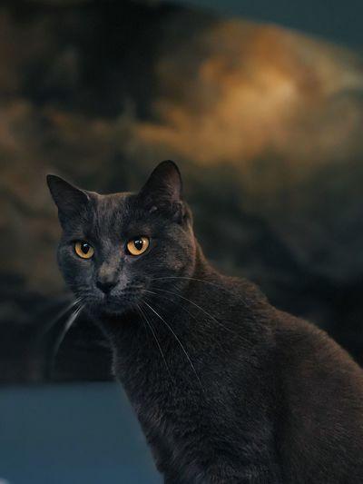 Close-up portrait of black cat at sunset