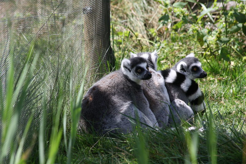 Lemur family at Granby zoo Animal Themes Animal Wildlife Animals In The Wild Close-up Day Grass Lemur Lemur Family Lemurs Lémuriens Mammal Monkey Nature No People Outdoors Togetherness Young Animal