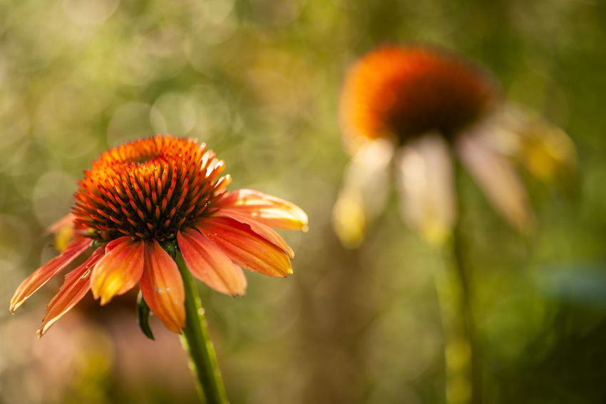 Beauty In Nature Close-up Coneflower Day Flower Flower Head Flowering Plant Focus On Foreground Fragility Freshness Growth Inflorescence Nature No People Orange Color Outdoors Petal Plant Plant Stem Pollen Sepal Vulnerability