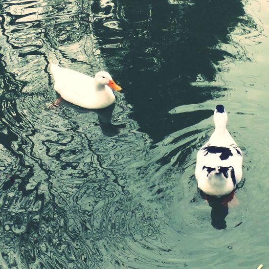 Spring Ducks Patos Nature
