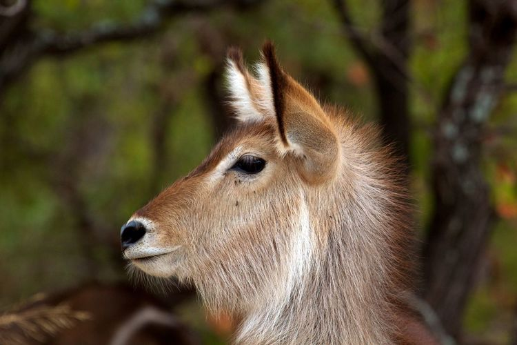 Close-up of waterbuck outdoors