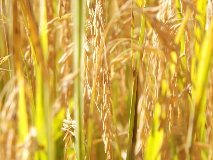 Agriculture Backgrounds Beauty In Nature Cereal Plant Growth Nature Outdoors Plant Rural Scene Selective Focus Close-up Mother Nature Macro Macro Photography Eye4photography  EyeEm Best Shots EyeEm Nature Lover