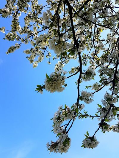 Tree Low Angle View Branch No People Nature Beauty In Nature Sky Spring Blooms Abundance Idyllic Sunlight Fragility Tranquility Freshness Blossom Clear Sky Tree Blooms EyeEmNewHere