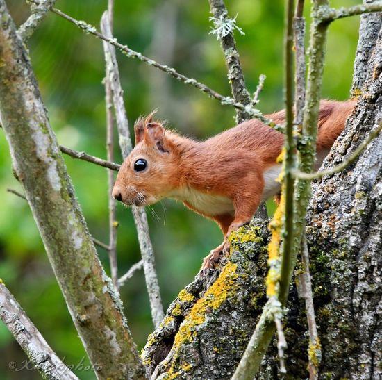 Esquirol /