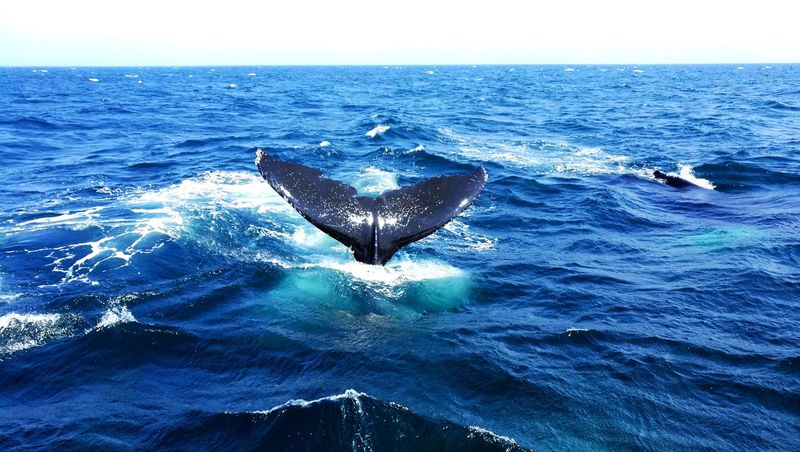 USA sea Water Blue Horizon Over Water No People Day Outdoors Nature Sea Life Humpback Whale Whale Tail Beauty In Nature Dolphin Fleet