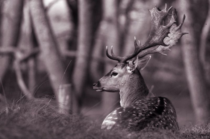 Relaxing Stag Deer Monochrome One Animal Animal Themes Looking Away Selective Focus Animal Head  Focus On Foreground Alertness Nature No People Tranquility Monochrome Photography B&W Magic