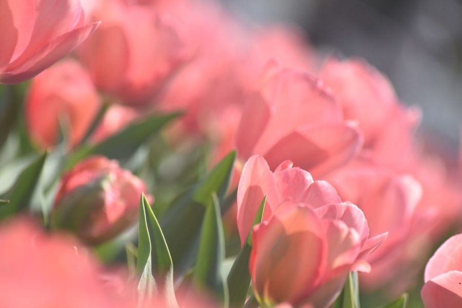 Tulips EyeEm Flower Flowering Plant Flower Vulnerability  Plant Fragility Petal Freshness Beauty In Nature Close-up Pink Color Growth Selective Focus Day Flower Head Focus On Foreground Inflorescence