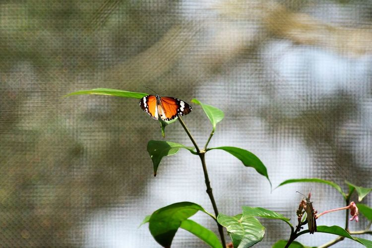 Wildlife and forestry Animal Animal Themes Animal Wildlife Animal Wing Animals In The Wild Beauty In Nature Butterfly - Insect Close-up Day Digital Composite Focus On Foreground Green Color Insect Invertebrate Leaf Nature No People One Animal Outdoors Plant Plant Part