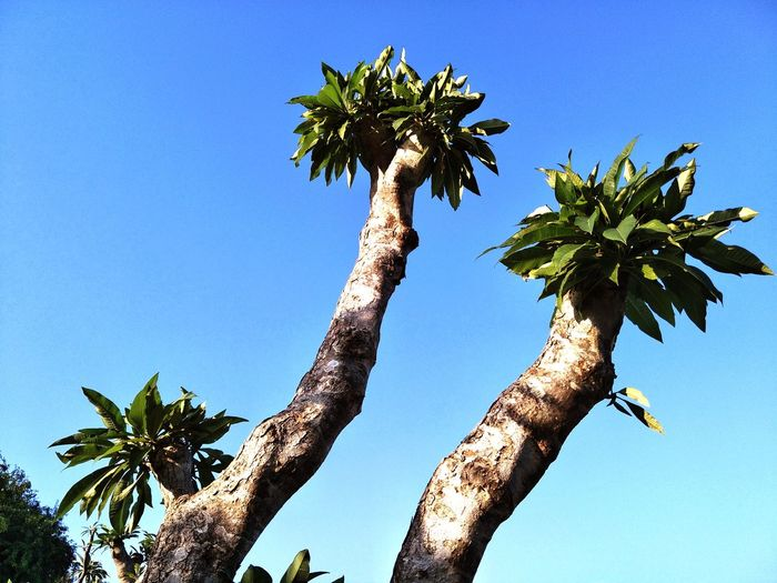 Low angle view of palm tree against clear blue sky