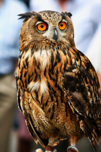 Gufo Reale Gufo Animal Themes Animals In The Wild Bird Bird Of Prey Close-up Looking At Camera Nature No People One Animal Outdoors Owl Perching Portrait Real Owl First Eyeem Photo Perspectives On Nature