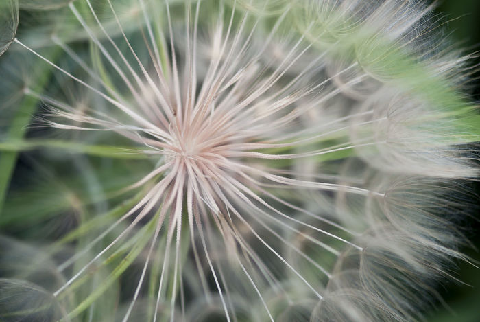 A closeup shot of the seeds of a spend salsify flower head. Close-up No People Nature Plant Outdoors Flower Fragility Growth Vulnerability  Freshness Summer Seasonal Natural Plant Garden Flora Floral Dandelion Seed Full Frame White Color Seed Salsify Dandelion Softness Inflorescence
