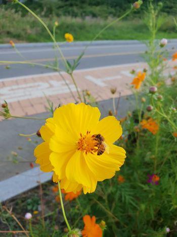 a honeybee & yellow flower EyeEm Gallery Riverside Han River Flower Head Flower Crocus Yellow Poppy Petal Uncultivated Blossom Wildflower