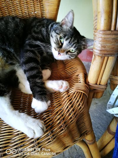 Domestic Cat Pets Domestic Animals One Animal Animal Themes Basket Feline Indoors  High Angle View Mammal No People Day Portrait Close-up