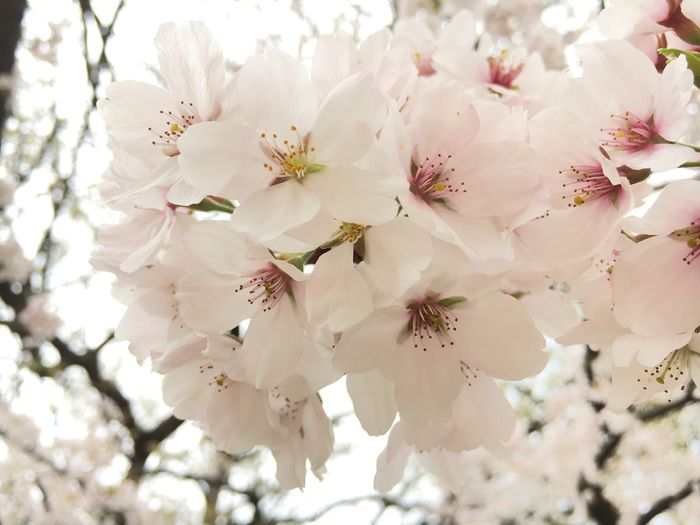 벚꽃, Flower Growth Nature Fragility Tree White Color Blossom Petal Twig Beauty In Nature Close-up Springtime Apple Blossom Stamen Freshness Apple Tree Fruit Tree No People Branch Flower Head Norevision First Eyeem Photo