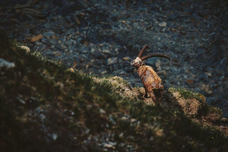 High angle view of ibex on rock