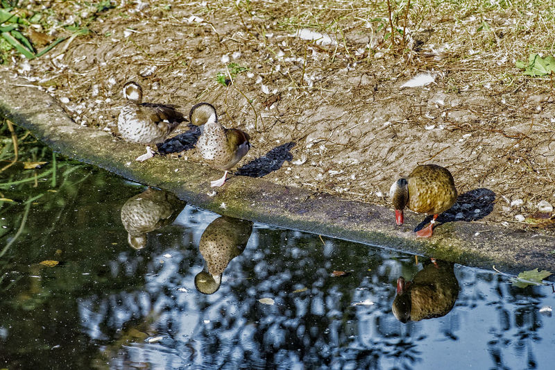Im Zoo Animal Themes Animals In The Wild Beauty In Nature Day Enten Ententeich High Angle View Nature Non-urban Scene Outdoors Reflection Scenics Standing Water Tranquil Scene Tranquility Water Waterfront Wildlife Zoology