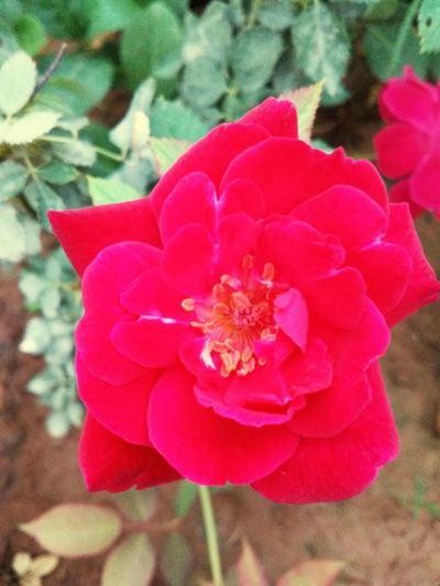 Flower Petal Nature Beauty In Nature Pink Color Flower Head Fragility Close-up Day Wild Rose Plant No People Growth Outdoors Red Freshness