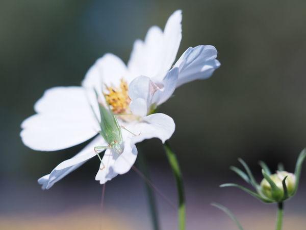 コスモス Flower カメラ女子 カメラ 写真好きな人と繋がりたい マクロレンズ カメラ修業中 カメラ初心者 カメラ好きな人と繋がりたい 写真すきな人と繋がりたい カメラ好き カメラ練習 長居植物園 コスモス 秋桜