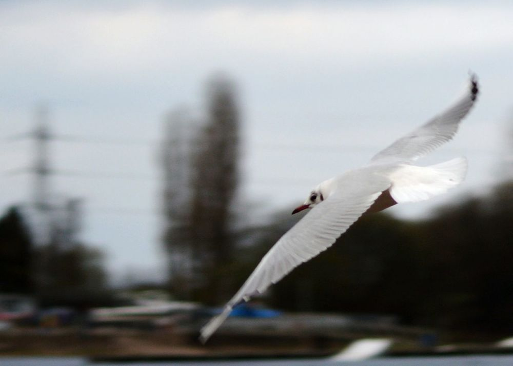Bird Photography Flying Seagull Inflight Staffordshire Wildlife Photography