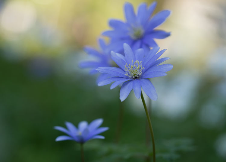 anemone EyeEm Best Shots EyeEm Nature Lover Moody Spring Morning Anemone Anemone Flower Beauty In Nature Blooming Bokeh In Background Botanical Close-up Day Edithnerophotography Flora Flower Heads Fragility Freshness Garden Growth Moody Nature No People Outdoors Petal Plant Spring Springtime