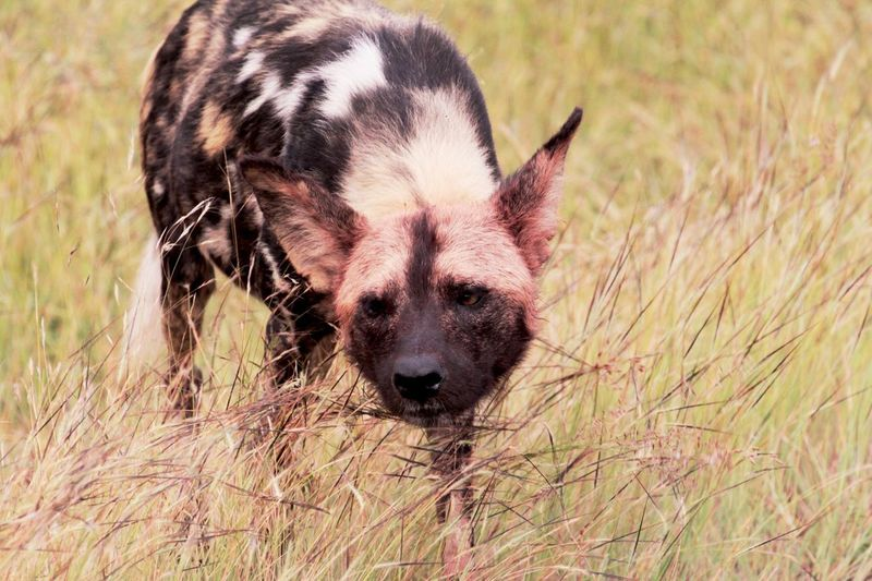 African Wild Dog On Grassy Field