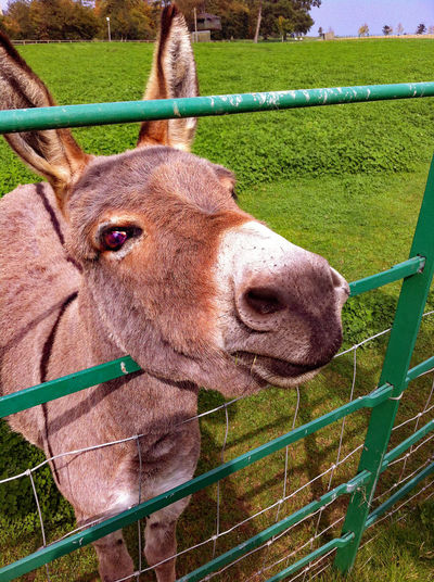 Donkey looking