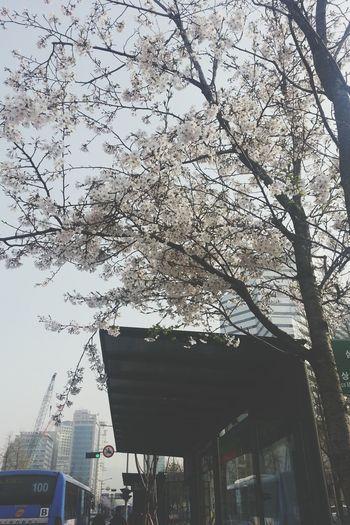 Cherry Blossom Spring!