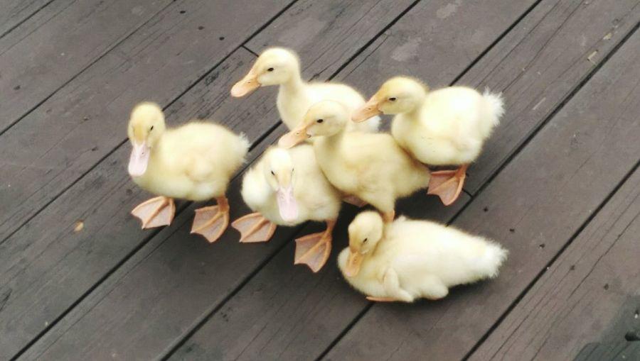 Ducklings in Hialeah FL