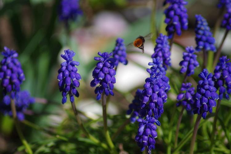 Close-up of bumblebee on purple flowering plants