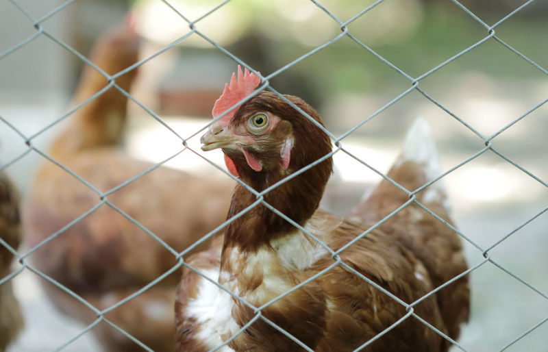 Hen behind metal wire Animal Chicken Bird Fence Rural Beak Farm Close Up Village Farm Life Livestock Chickens Farming Cage Close-up Birds Of EyeEm  Barrier No People Hen Boundary Chainlink Fence Rural Scene Animal Themes Domestic Animals Chicken - Bird Domestic One Animal