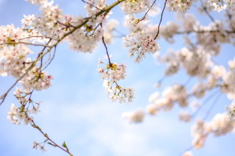 The first cherry blossoms of the season No. 2 EyeEm Selects Plant Flowering Plant Fragility Blossom Beauty In Nature Tree Low Angle View Springtime Flower Freshness Branch Vulnerability  Sky Growth Nature Day Cherry Blossom No People Twig Cherry Tree The Great Outdoors - 2018 EyeEm Awards