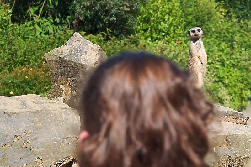 Wotcha lookin' at? Meerkat Real People One Animal Day Outdoors Focus On Background Leisure Activity Animal Wildlife Rear View One Person Animals In The Wild Lifestyles Mammal Nature People