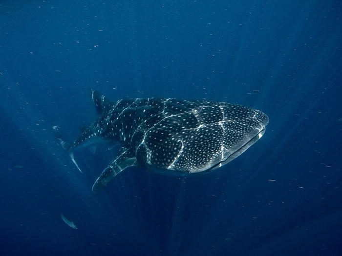 Shark Swimming In Sea