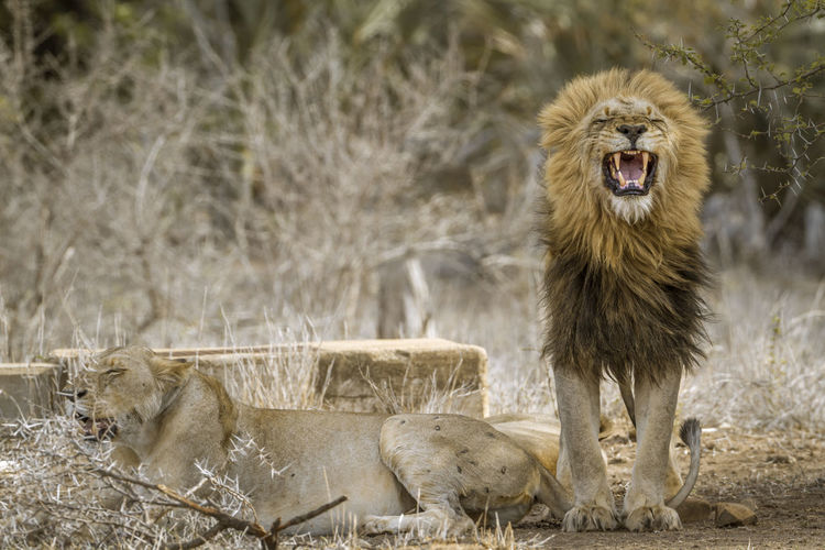 Lions on land
