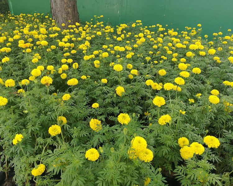 For my belove KING. King Bhumipol Adulyadet Thailand🇹🇭 Bangkok RAMA9 I Love King Royal Flower Beauty In Nature Outdoors Marigold🌻🌻 Marigold Flower