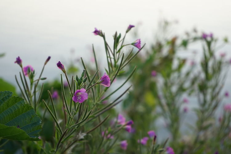 Epilobium hirsutum, great willowherb, great hairy willowherb or hairy willowherb, Zottiges Weidenröschen Beauty In Nature Close-up Day Flower Flower Head Flowering Plant Focus On Foreground Fragility Freshness Great Willowherb Growth Inflorescence Nature No People Onagraceae Outdoors Petal Pink Color Plant Plant Part Purple Selective Focus Vulnerability  Willowherb