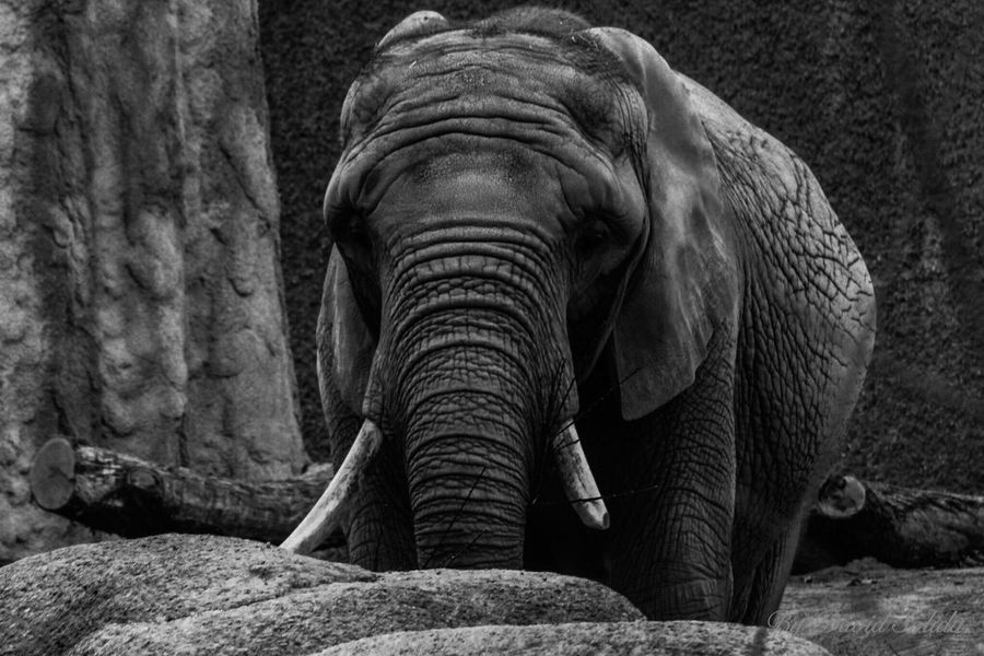 Black and White Animals In The Wild Nature No People Elephant Animal Themes One Animal Front View Close-up Outdoors African Elephant Basel, Switzerland Black And White Photography Canonphotography