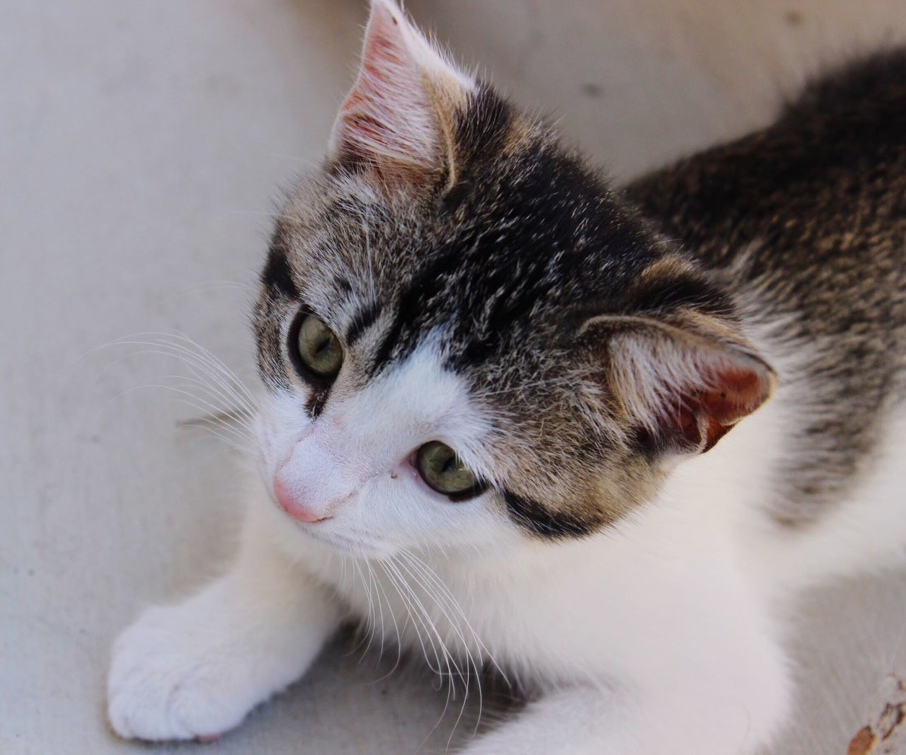 domestic cat, pets, domestic animals, animal themes, one animal, feline, mammal, cat, whisker, no people, close-up, indoors, portrait, day