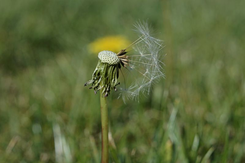 Outdoor Photography Outdoors Nature_collection Nature Naturelovers Nature Photography Beauty In Nature Botany EyeEm Nature Lover Flower Spider Trapped Close-up Plant Dandelion Dandelion Seed Uncultivated Flower Head Stamen Pollen Thistle Wildflower