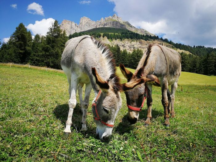 Donkeys under Catinaccio - Rosengarten mountain Meadow Grass Summer Green Donkey Donkeys Agriculture Mountain Cloud Cloud - Sky Nature Italy South Tyrol Trentino Alto Adige Landscape Dolomites Alps Trees Catinaccio Rosengarten EyeEm Selects Tree Sky Grass Field Two Animals Agricultural Field Livestock Farmland Highland Cattle